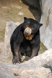 Sun Bear / Honey Bear. A sun bear sits amid the rocks and tree branch and looks up into the camera Royalty Free Stock Images