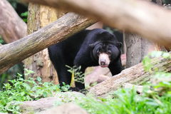Sun bear in its habitat Royalty Free Stock Image