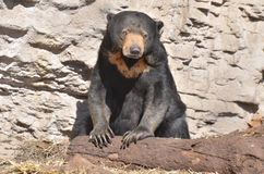 Sun bear with log Stock Photos