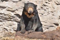 Sun bear with log. A female sun bear rests her paws on a log Stock Photos
