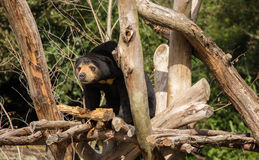 Sun Bear Lookout Stock Image