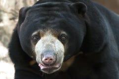 Sun bear Stock Images