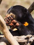 Sun Bear Paw Royalty Free Stock Photos