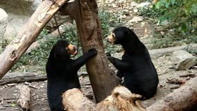 Sun bear playing in chiangmai Thailand stock video