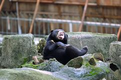 Sun bear relaxing. On hot day Royalty Free Stock Photography