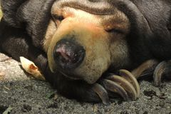 Sun Bear resting at the zoo. A Sun Bear takes a break during the day at the zoo Royalty Free Stock Photography
