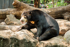 Sun bear sits on stone in the zoo Royalty Free Stock Photos