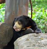 Sun bear Royalty Free Stock Photos