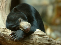 Sun Bear Sleeping. On tree royalty free stock photo