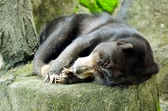 Sun Bear Sleeping. On hot day Royalty Free Stock Images
