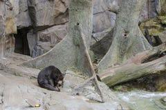 Sun Bear. This is a Sun Bear that is sleepy. The sun bear Helarctos malayanus is a bear found in tropical forest habitats of Southeast Asia. The Malayan sun bear Stock Image