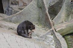 Sun Bear. This is a Sun Bear that is sleepy. The sun bear Helarctos malayanus is a bear found in tropical forest habitats of Southeast Asia. The Malayan sun bear Stock Photo