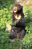 Sun bear Stock Photo
