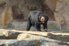 Sun bear. The sun bear strolling on the rocks Stock Photo