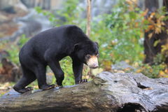 Sun bear Royalty Free Stock Image