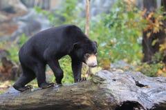Sun bear. The sun bear strolling on the trunk Royalty Free Stock Image