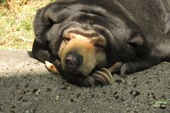 Sun Bear resting at the zoo. A Sun Bear takes a break during the day at the zoo Stock Photos