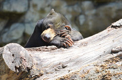 Sun bear thinking 2. A male sun bear rests on a log Royalty Free Stock Photo
