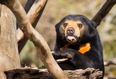 Sun Bear Tongue Royalty Free Stock Photo