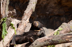 Sun bear on tree3 Stock Photo