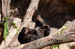 Sun bear on tree4 Stock Photography