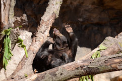 Sun bear on tree5 Stock Image