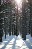Sun in Beautiful Pine Winter Forest. Trees in Snow. Stock Photos