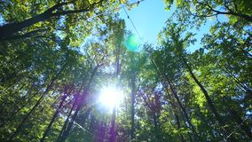 The sun beautifully illuminating the green treetops of tall beech trees in a forest clearing stock video