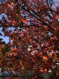 Beautiful spring red leaves on the tree Royalty Free Stock Photo