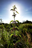 Sun behind the big nettle. Royalty Free Stock Images