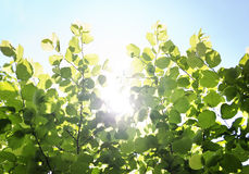 Sun behind leaves Stock Photography