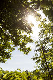 The sun behind leaves in summer Royalty Free Stock Photography