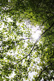 Sun behind the leaves in the tree crown. Sunbeams shine through the leaves in the tree crown Stock Images