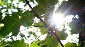 Sun. Behind a tree Javor in Czech republic Royalty Free Stock Image