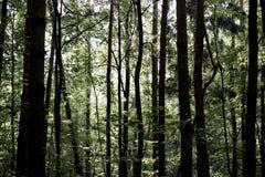 Sun beleuchten Sonnenstrahlen im dichten dunklen Wald während des bewölkten Tages stockbild