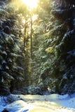 Sun besegrar ljust kommande under vinter in i skogen Fotografering för Bildbyråer
