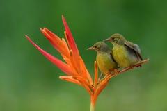 Sun bird. Little sun bird looking for morning sun stock image