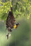 The sun bird. The spring sun bird breeding season Stock Photo