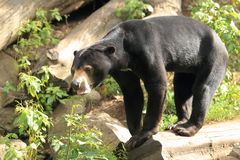 Sun björn Royaltyfri Foto