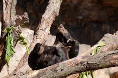 Sun björn på tree4 Arkivbild