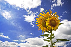 Sun blomma Arkivbilder