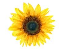 Sun blomma Royaltyfri Bild