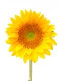 Sun blomma Fotografering för Bildbyråer