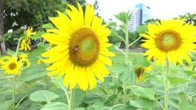 Sun blomma och bi stock video