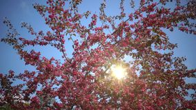 The sun in the blue sky shines through blooming Pink Crab Apple Trees in the Spring Garden.  stock footage
