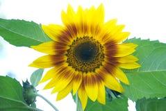 Sun-Blume. Stockfotografie