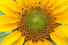 Sun-Blume stockfoto