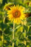 Sun-Blume Lizenzfreie Stockfotos