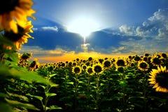 Sun-Blume Lizenzfreies Stockfoto