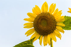 Sun-Blume Stockfotos